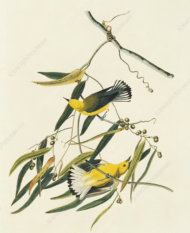 Prothonotary warblers, artwork