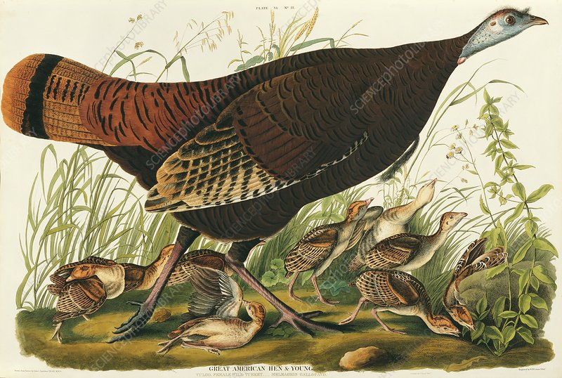 Wild Turkey, artwork