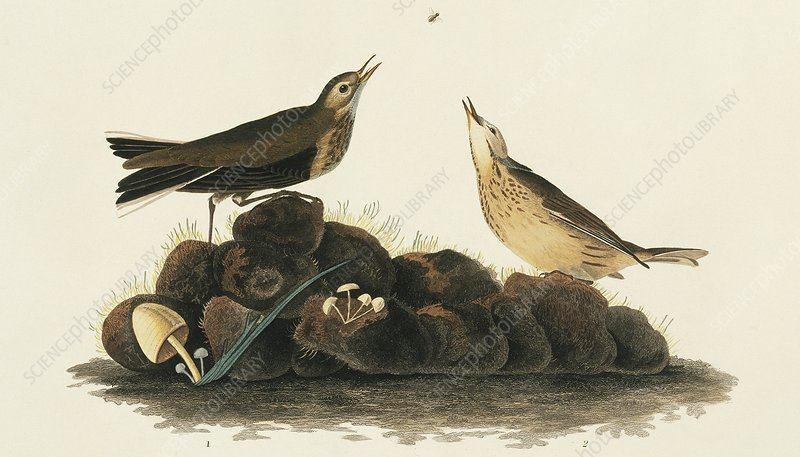 Two Water Pipit, artwork