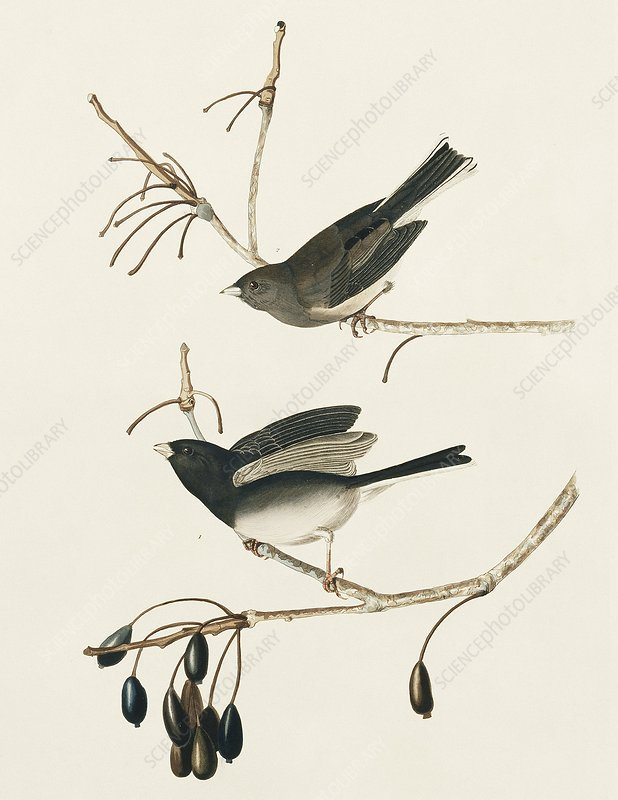 Two dark-eyed junco, artwork