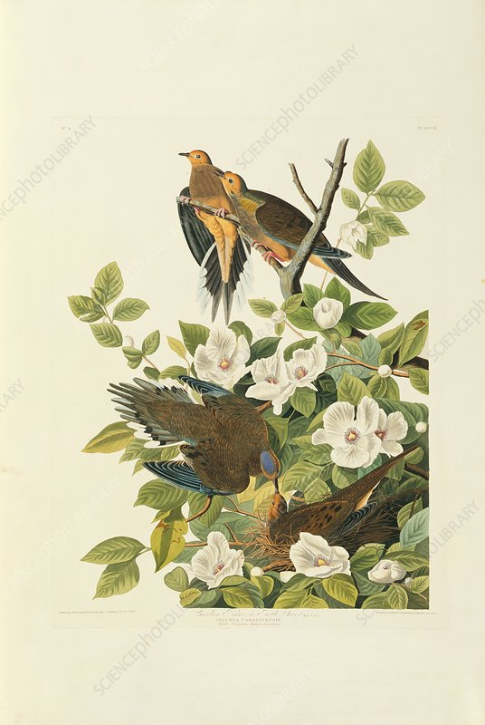 Two mourning doves, artwork