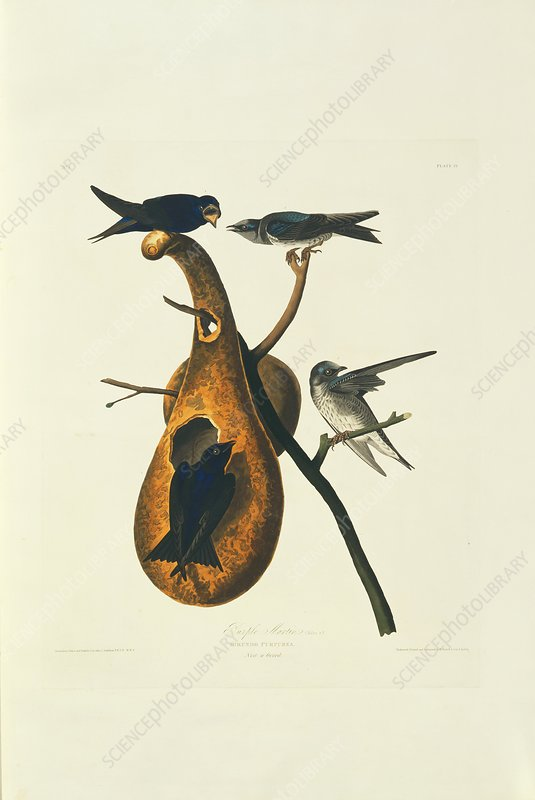 Purple martins and nest, artwork
