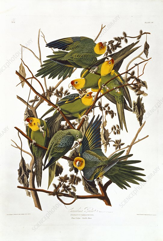 Carolina parakeets, artwork