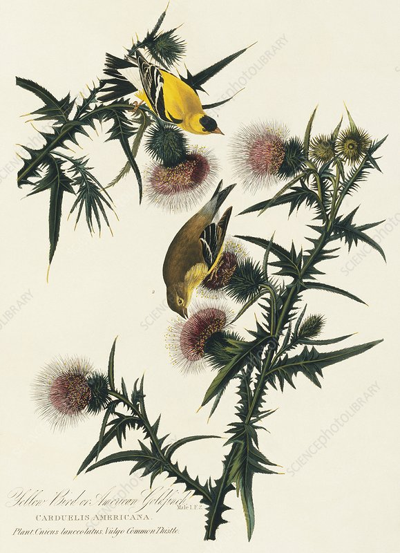 American goldfinches, artwork