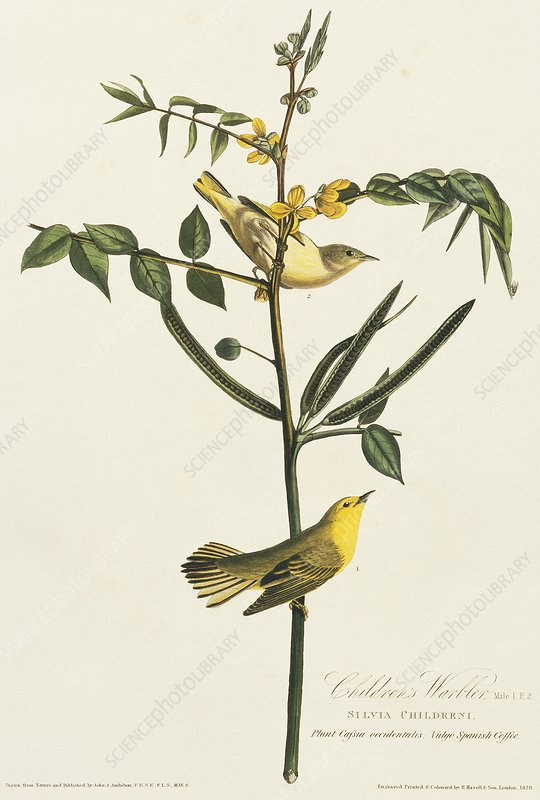Yellow warbler, artwork