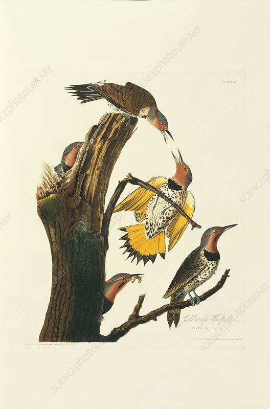 Northern flicker birds, artwork