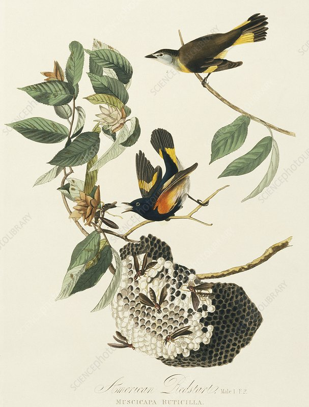 American redstarts, artwork