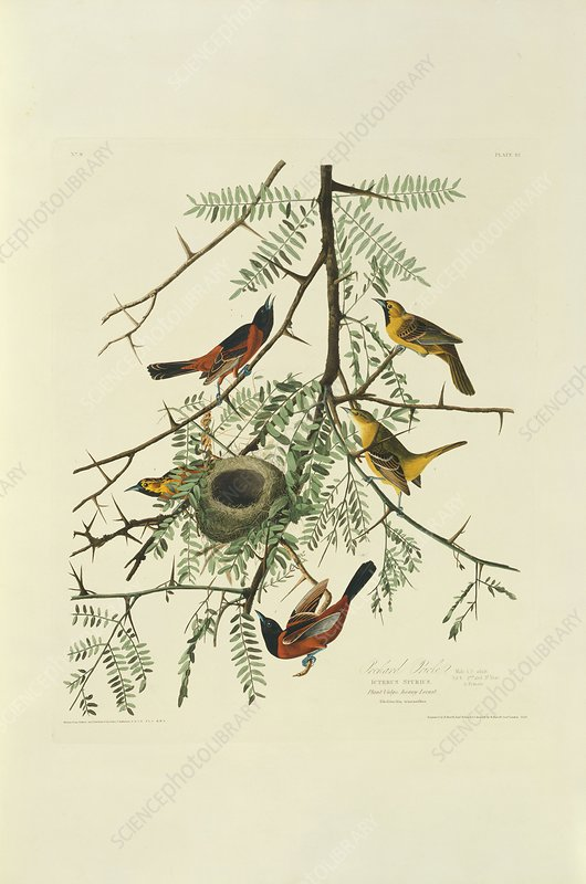 Orchard orioles, artwork