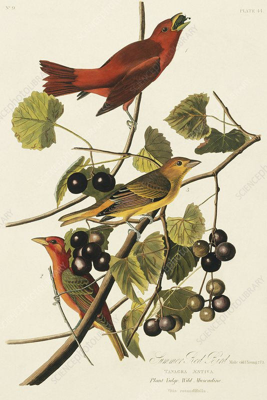 Summer tanagers, artwork