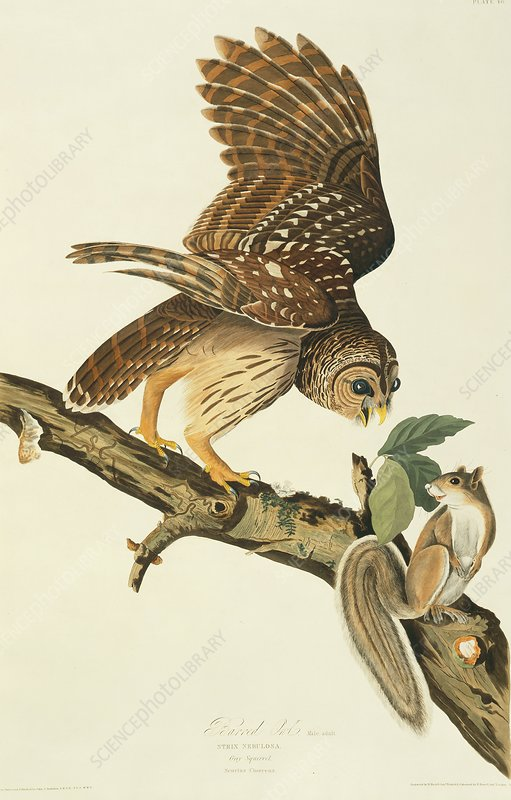 Barred owl and prey, artwork