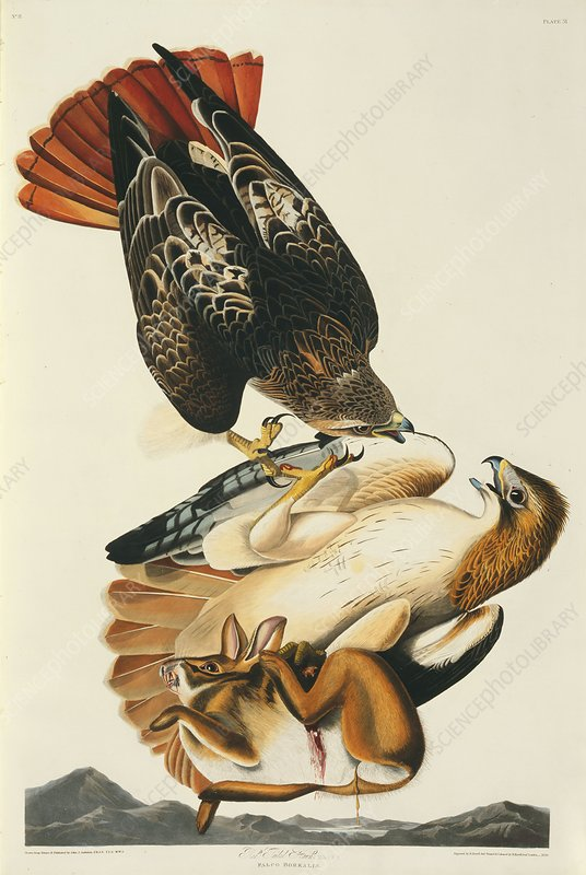 Red-tailed hawks and prey, artwork