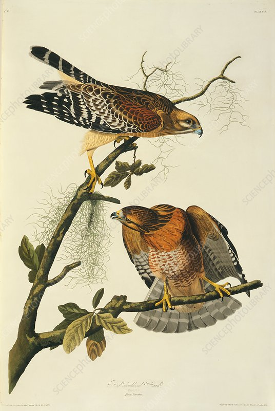 Pair of red-shouldered hawks, artwork