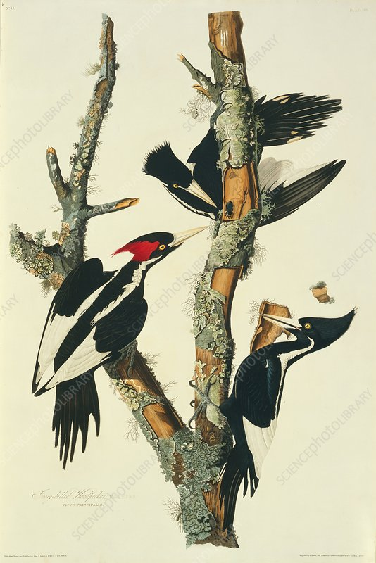 Three ivory-billed woodpeckers, artwork