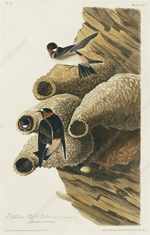 Cliff swallows nesting, artwork