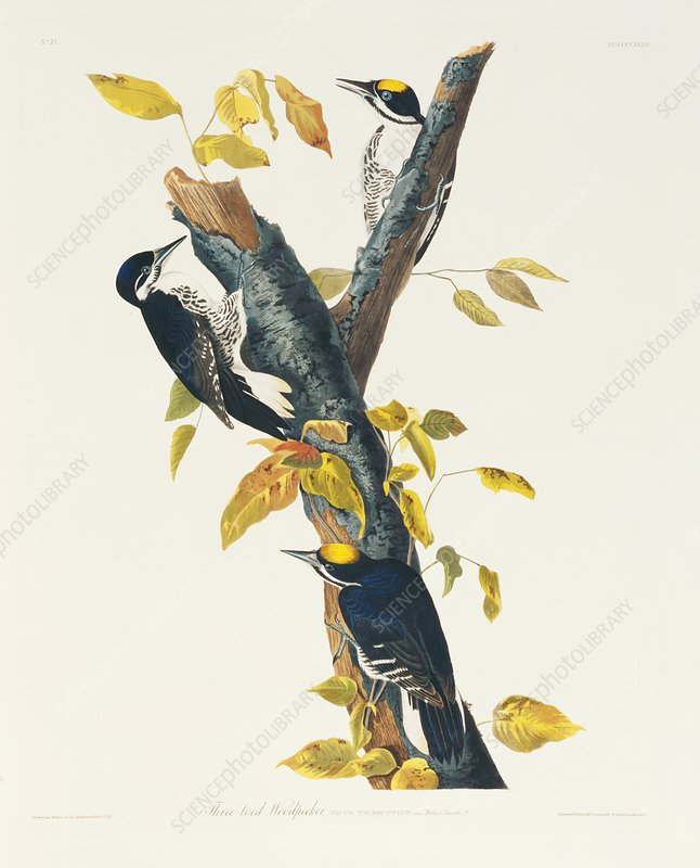 Black-backed woodpeckers, artwork