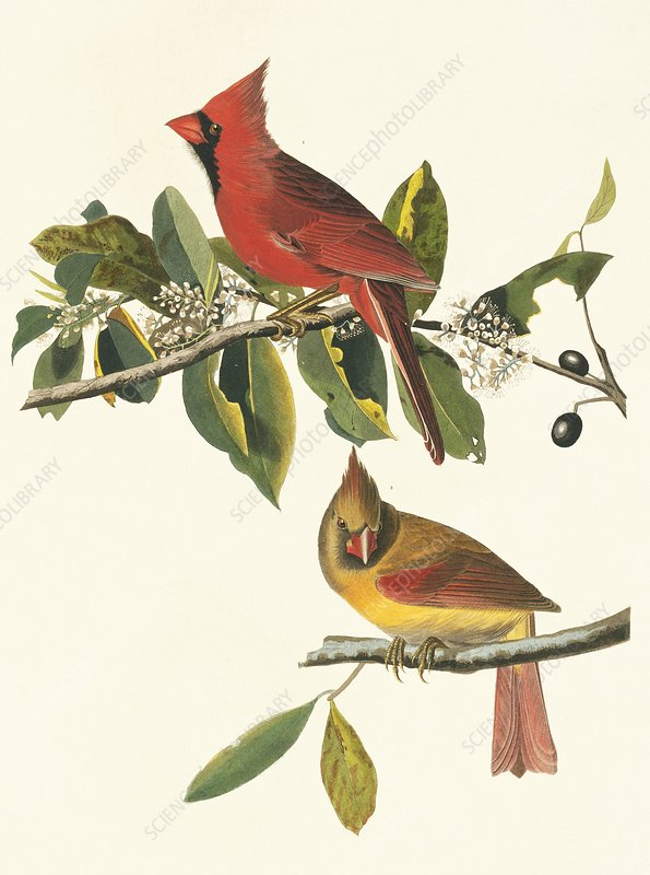 Northern cardinal birds, artwork