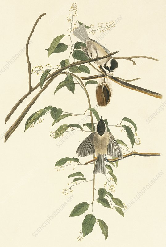 Carolina chickadee, artwork