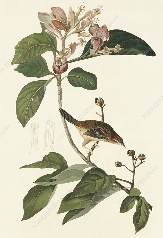 Bachman's sparrow, artwork