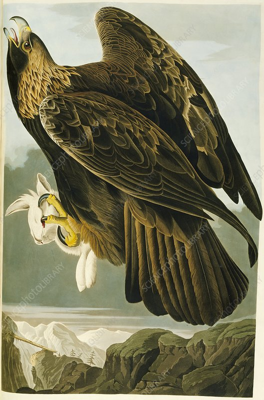 Golden eagle, artwork