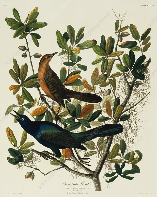 Boat-tailed grackle, artwork