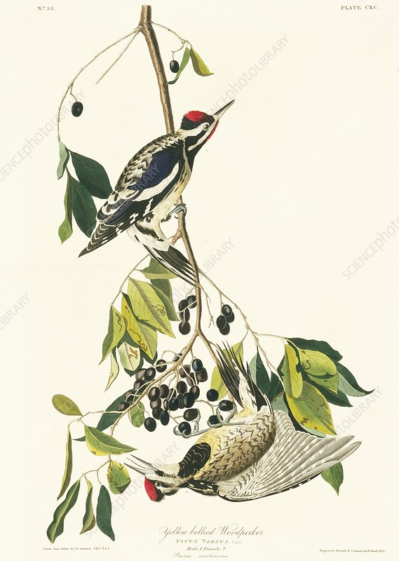 Yellow-bellied sapsucker, artwork