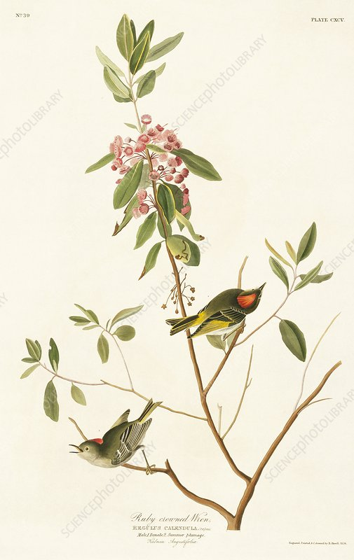 Ruby-crowned kinglet, artwork
