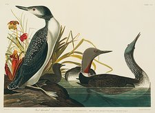 Red-throated diver, artwork