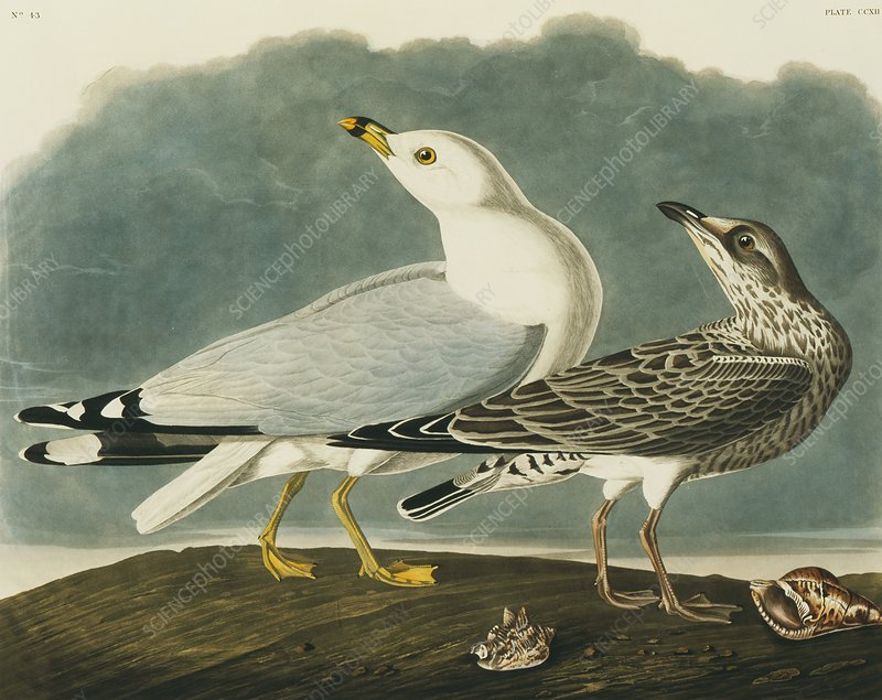 Ring-billed gull, artwork