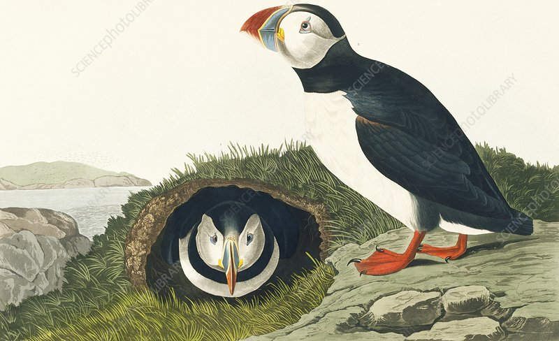 Atlantic puffin, artwork