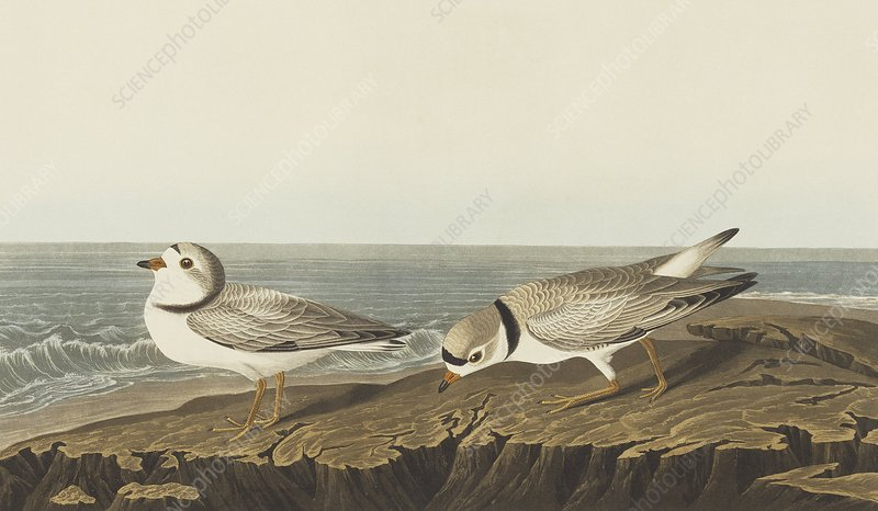 Piping plover, artwork