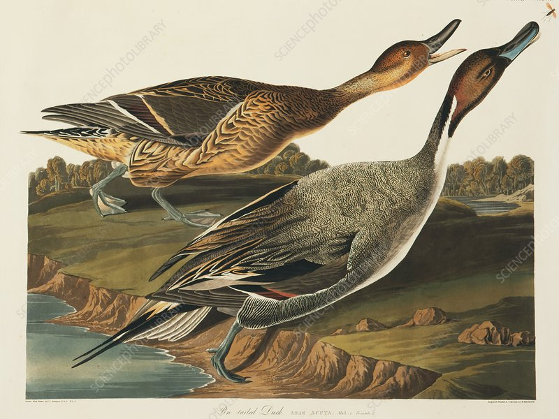 Northern Pintail, artwork