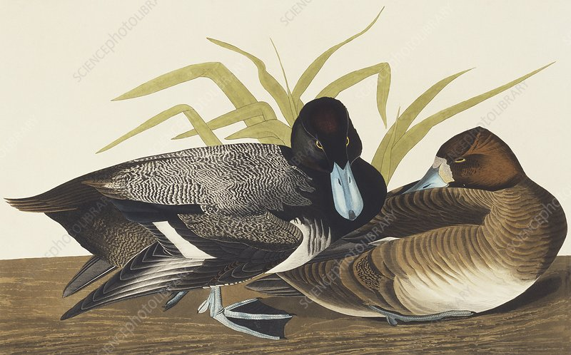 Greater scaup, artwork