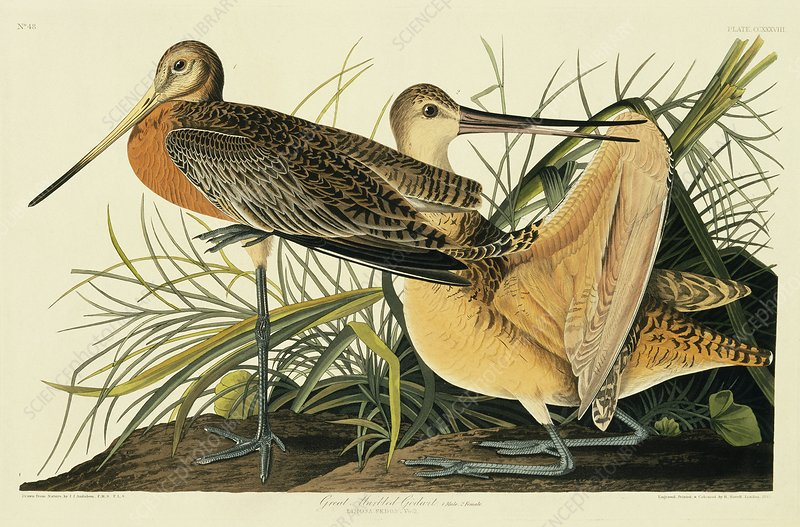 Marbled godwit, artwork