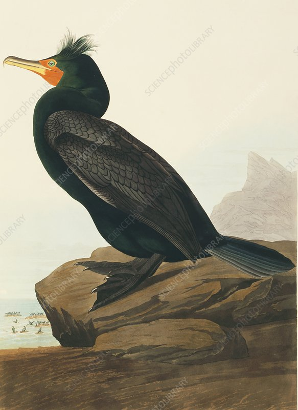 Double-crested cormorant, artwork