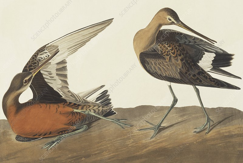 Hudsonian godwit, artwork