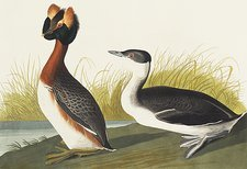 Slavonian grebe, artwork