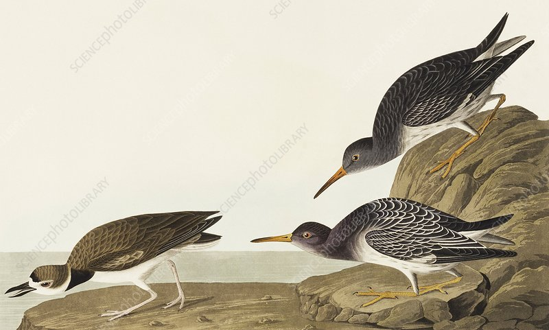 Purple sandpiper and Wilson's plover