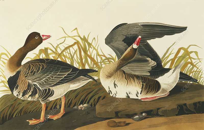 Greater white-fronted goose, artwork