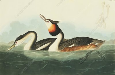 Great crested grebe, artwork