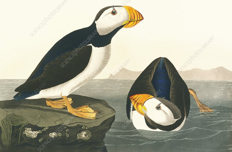 Horned puffin, artwork