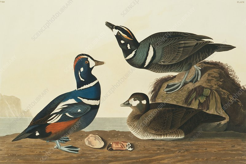Harlequin ducks, artwork