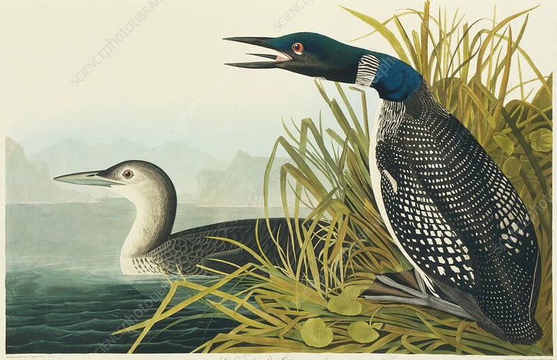 Great-northern diver, artwork