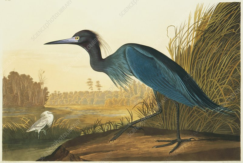 Little blue heron, artwork