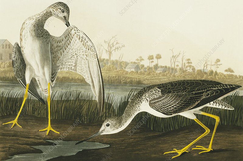 Greater yellowlegs, artwork
