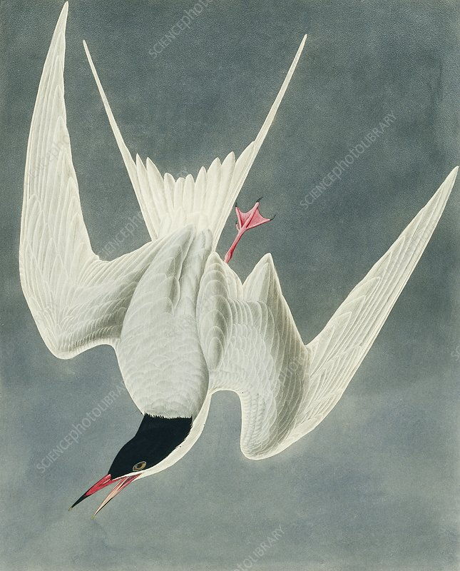 Common tern, artwork
