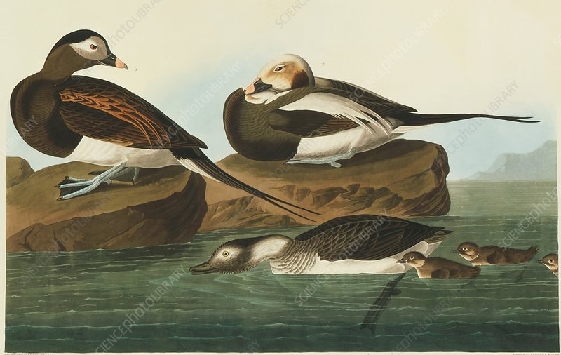Long-tailed duck, artwork
