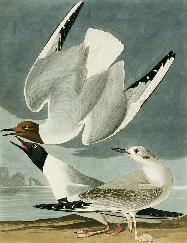 Bonaparte's gull, artwork