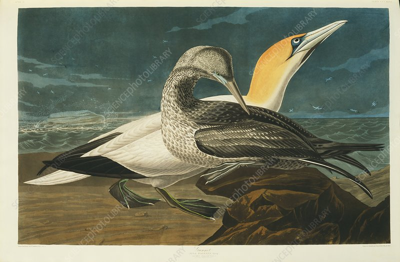 Northern gannet, artwork