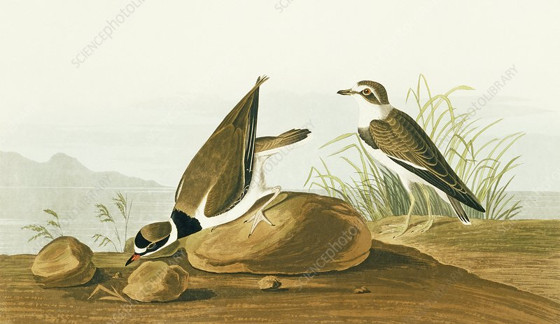 Semipalmated plover, artwork