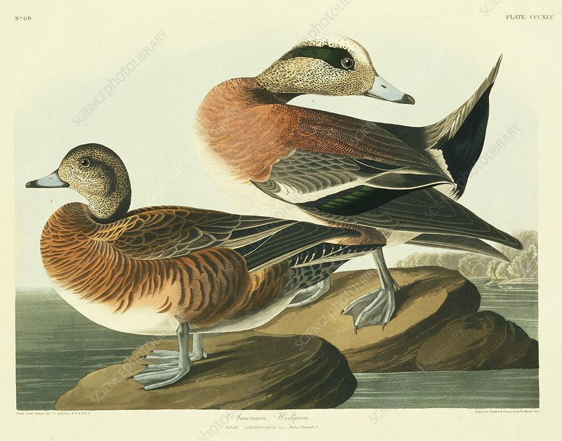American widgeon, artwork